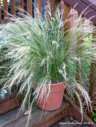 calgary garden coach ornamental grasses not just for the