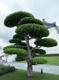 Topiary Cloud Trees - 218 best niwaki topiary images on pinterest japanese gardens
