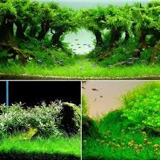 yani aquatic plant seeds indoor ornamental grass seed grass
