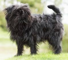 affenpinscher swimming hypoallergenic dog breeds dogs that don u0027t shed k9 research lab