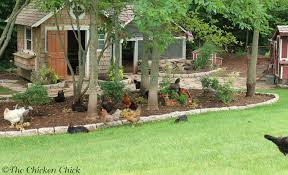 Chickens In The Backyard by The Chicken Veterinary Care For Backyard Chickens A