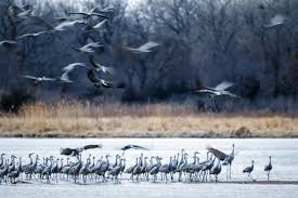 these dancing sandhill cranes perform one of world u0027s greatest