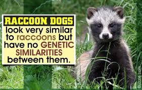 facts about the raccoon dog a rare but endangered species