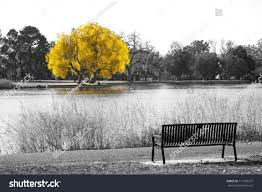 Park Bench Scene Golden Yellow Tree Black White Landscape Stock Photo 717729277