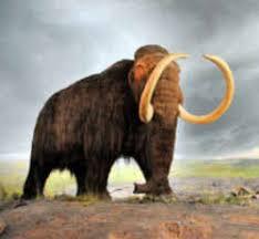 alaska fossil woolly mammoth mammuthus primigenius