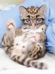 Pdza Zoo Lights by Endangered Clouded Leopard Cubs Born At Point Defiance Zoo
