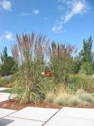 62 best ornamental grasses images on ornamental