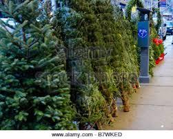 new york city fresh christmas trees from north carolina displayed