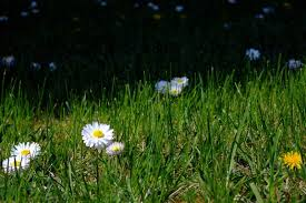 small white flowers small white flowers in green grass free image on 4 free photos