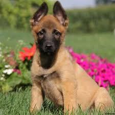 belgian shepherd north carolina turbo belgian malinois puppy for sale in pennsylvania