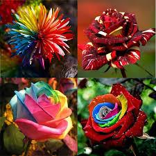 favorable flower seeds combination rainbow rose chrysanthemum