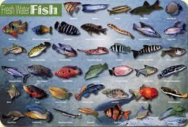 freshwater aquarium fish list with pictures flying fish 1001