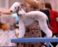 bedlington terrier seattle dog show casey kerries from the inside out page 6