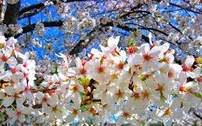 file cherry blossoms tree jpg wikimedia commons