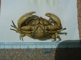 hi can hi can anyone help me identify this two crab species