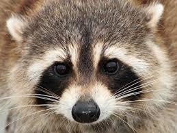 revenge of raccoons critters invade brooklyn neighborhood nbc