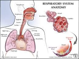 Human Anatomy Respiratory System Respiratory System The Human Body Pinterest Respiratory System