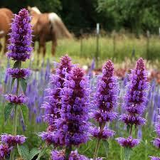 fleurs vivaces rustiques dans plantes vivaces