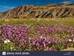 Anza Borrego Wildflowers Super Bloom by Henderson State Park Stock Photos U0026 Henderson State Park Stock