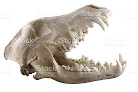 wolf skull isolated on a white background stock photo more