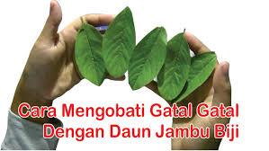 Obat Gatal obat herbal kulit gatal cara mengobati kulit gatal dengan manfaat