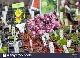 rockery plants in pots for sale farmers market stock photo