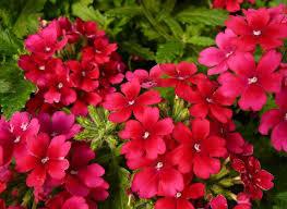 verbena flower 133 best verbena images on verbena container plants