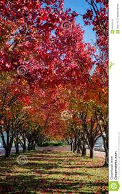 a row of ornamental pear trees stock photo image 56593216