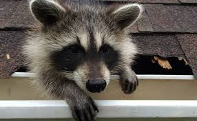 How To Get Rid Of Raccoons In Backyard Humane Animal Trapping Articles U0026 Tips Havahart