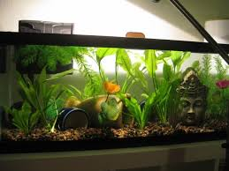 this 20 gallon long is the perfect sorority tank for female bettas