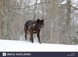 grey wolf canis lupus black form walking on at