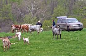 dickinson cattle co llc u003e home u003e longhorn info u003e management