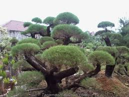 4 types of expensive bonsai ornamental plants that must be planted