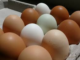 eggs pullets hens but which one backyard chickens