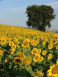 plants native to russia the strange history of the sunflower kuriositas