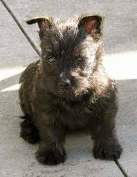 brindle cairn haircut cairn terrier dog breed information and pictures