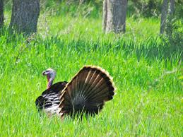 wild turkeys gobbles wattles and snoods u2013 oakland county blog