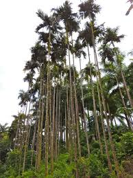 plantfiles pictures betel nut palm areca catechu by palmbob