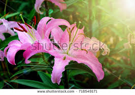 pink lillies pink lilies stock images royalty free images vectors