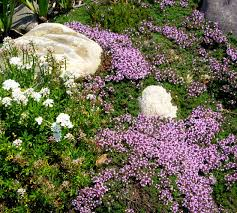 creeping thyme plant care how to plant creeping thyme ground cover