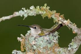 black chinned hummingbird facts habitat life cycle baby pictures