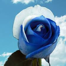 white and blue flowers order rainbow roses wholesale global