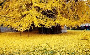 ginkgo tree tourist hit leaves form golden
