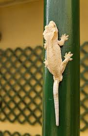 Halloween Crested Gecko Morph crested gecko or rhacodactylus ciliatus exotic animals in