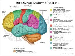 Ear Anatomy And Function Clam Anatomy And Functions Images Learn Human Anatomy Image