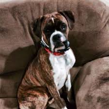 boxer dog 2015 stephentown family distraught after dog killed for menacing horses
