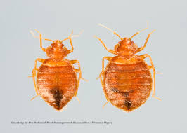 Bed Bug Bed Bug Facts About Bed Bugs Types Of Bed Bugs