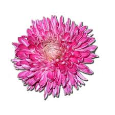 flowers in november chrysanthemum birth flower for november birth flowers pinterest