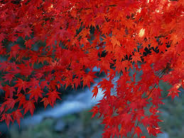 red leaves photos red foliages trees photos wallpaper