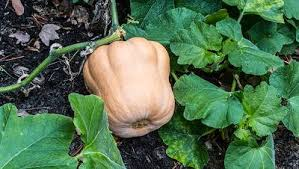 Squash Plant Diseases Pictures - 10 key tips for growing pumpkins and squash rodale u0027s organic life